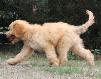 Sound moving Australian Labradoodle
